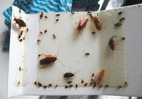 Самодельная ловушка против тараканов