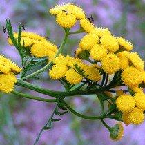 Растения и запахи отпугивающие тараканов