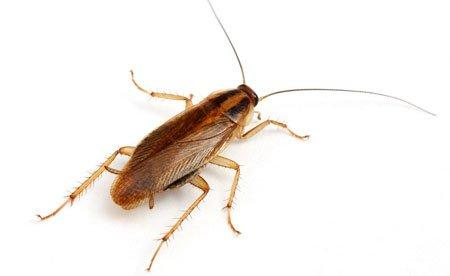 Как выглядит кладка тараканов
