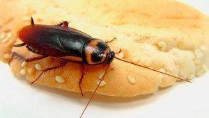 Тараканы переносят инфекции
