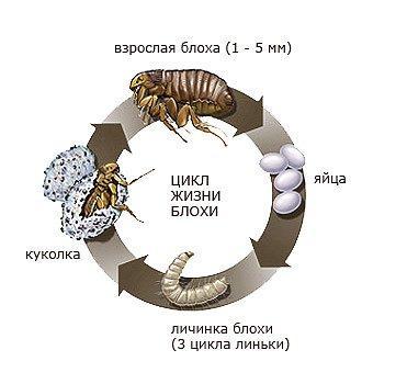 kak-razmnozhayutsya-bloxi-u-koshek-9