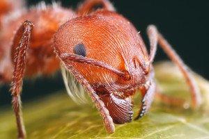 Рыжие муравьи – в чем опасность и как их выгнать?