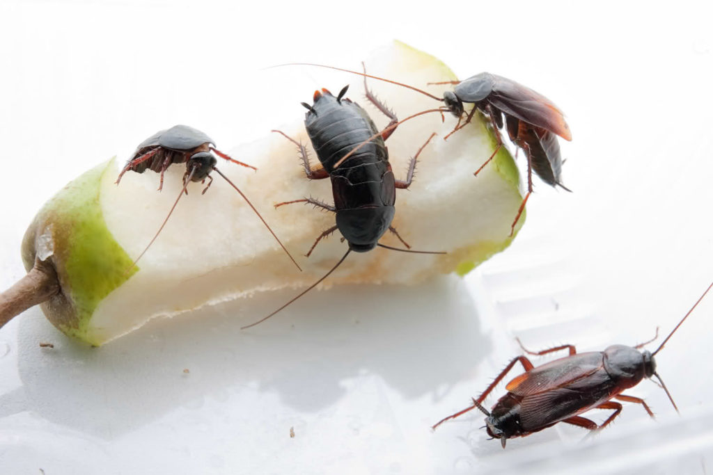 черные тараканы как избавиться от них