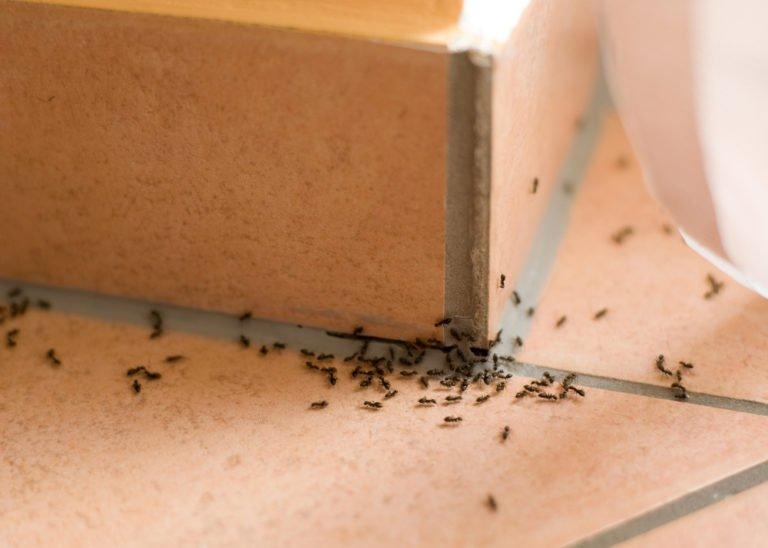 Вывести муравьев домашних условиях 9