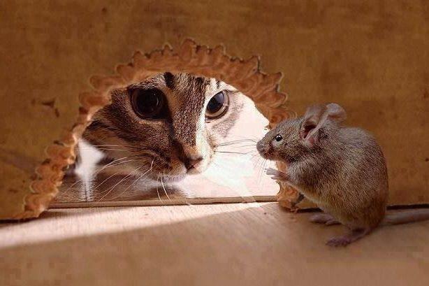 сонник беременная кошка ловит мышь