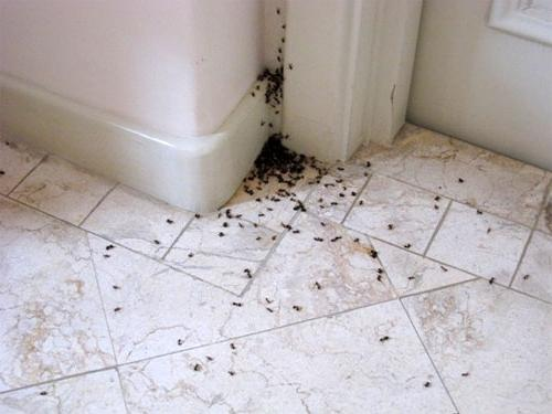 Маленькие прозрачные муравьи в квартире как избавиться