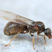 Как избавиться от летающих муравьев