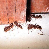 Как избавиться от муравьев в деревянном доме