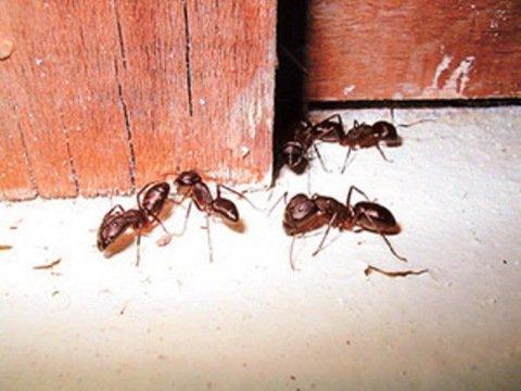 квартиру чем травить муравьев в квартире на куэне продажа автомобильных