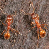 Как избавиться от лесных муравьев