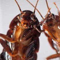 Специализированные службы по уничтожению тараканов