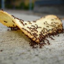 Что делать, если в квартире завелись муравьи