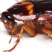 Какие бывают тараканы: виды и причины их появления