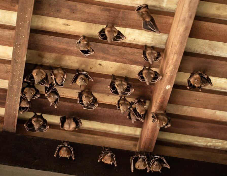 летучая мышь дезинсекция в доме