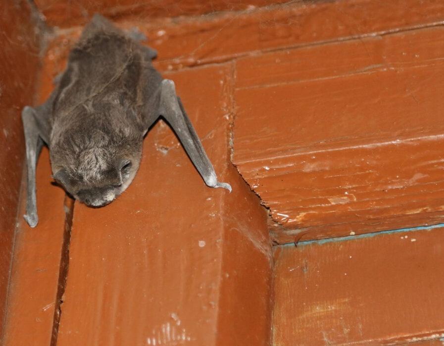 летучие мыши борьба