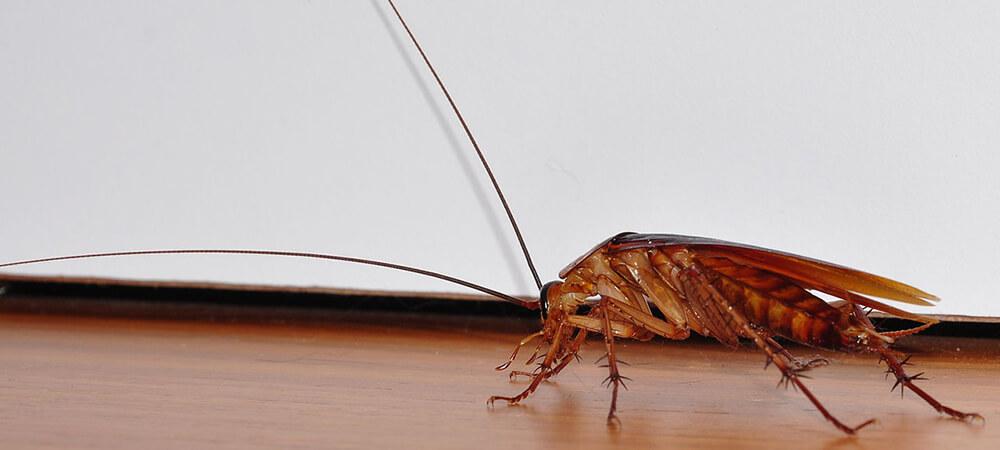 Таракан в квартире Мытищи