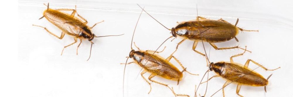 Тараканы в квартире Мытищи - фото